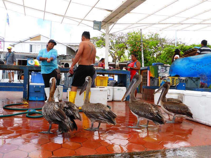 Pájaros esperando su comida junto a pescadores en Puerto Ayora