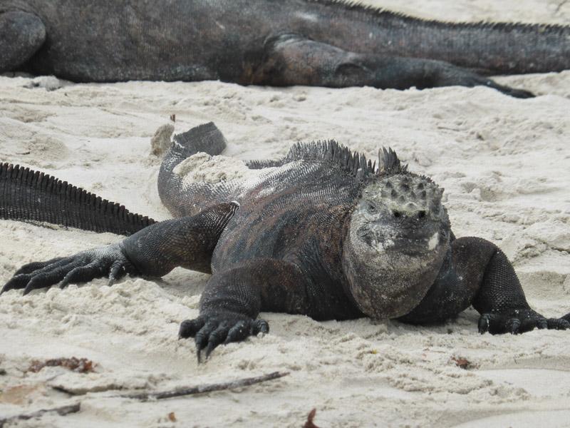 Iguana gigante en Tortuga Bay, Islas Galápagos