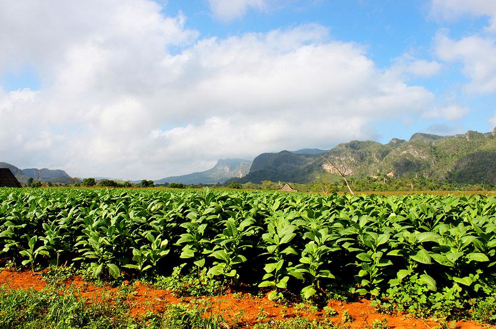 Viajar a Cuba. Plantaciones de tabaco en el valle de Viñales
