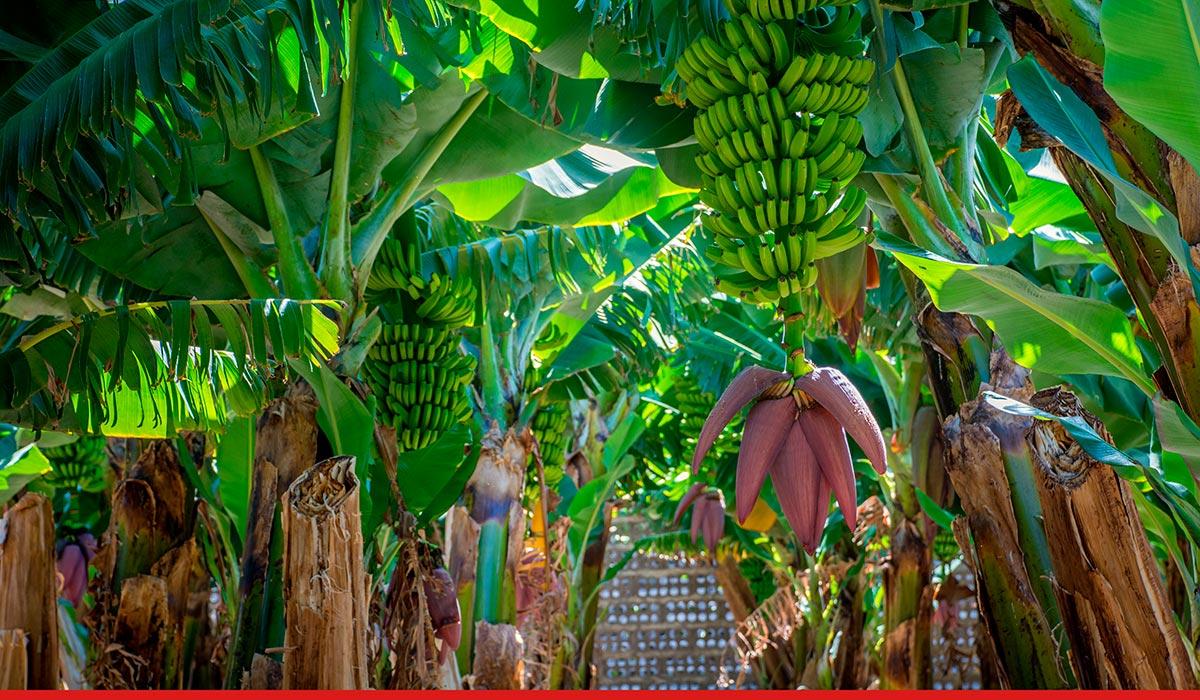 La Palma. Cultivo platanero